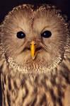 _ural owl.