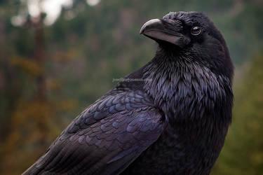 Raven III