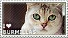 I love Burmillas by WishmasterAlchemist