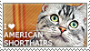 I love American Shorthairs by WishmasterAlchemist