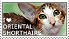 I love Oriental Shorthairs by WishmasterAlchemist