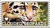 I love Clouded Leopards by WishmasterAlchemist