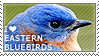 I love Eastern Bluebirds by WishmasterAlchemist