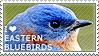 I love Eastern Bluebirds by WishmasterAlchemist