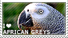 I love African Greys by WishmasterAlchemist