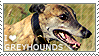 I love Greyhounds by WishmasterAlchemist