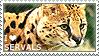 I love Servals