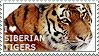 I love Siberian Tigers by WishmasterAlchemist
