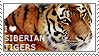 I love Siberian Tigers by WishmasterAlchemist