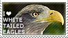 I love White-tailed Eagles by WishmasterAlchemist