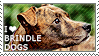 I love Brindle Dogs by WishmasterAlchemist
