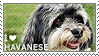 I love Havanese by WishmasterAlchemist