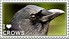 I love Crows by WishmasterAlchemist