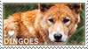 I love Dingoes