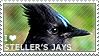 I love Steller's Jays by WishmasterAlchemist