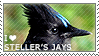 I love Steller's Jays by WishmasterAlchemist