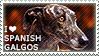 I love Spanish Galgos by WishmasterAlchemist