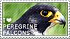 I love Peregrine Falcons