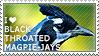 I love Black-throated Magpie-Jays by WishmasterAlchemist