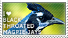I love Black-throated Magpie-Jays by WishmasterAlchemist