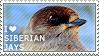 I love Siberian Jays by WishmasterAlchemist
