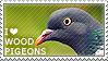 I love Wood Pigeons