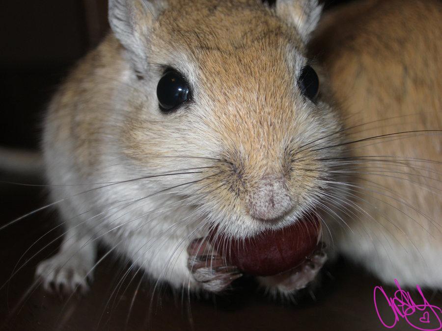 Angry gerbil - photo#27
