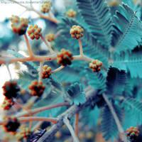 Wattle by Cattereia