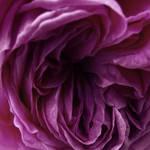 Perplexing Purple