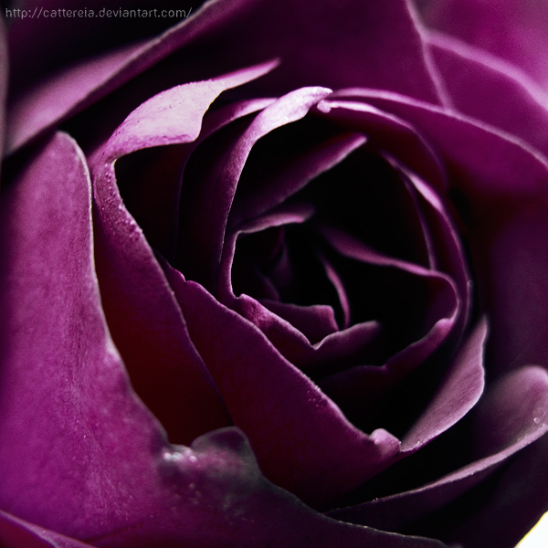 Perplexing Purple 2 by Cattereia