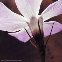 Periwinkle by Cattereia