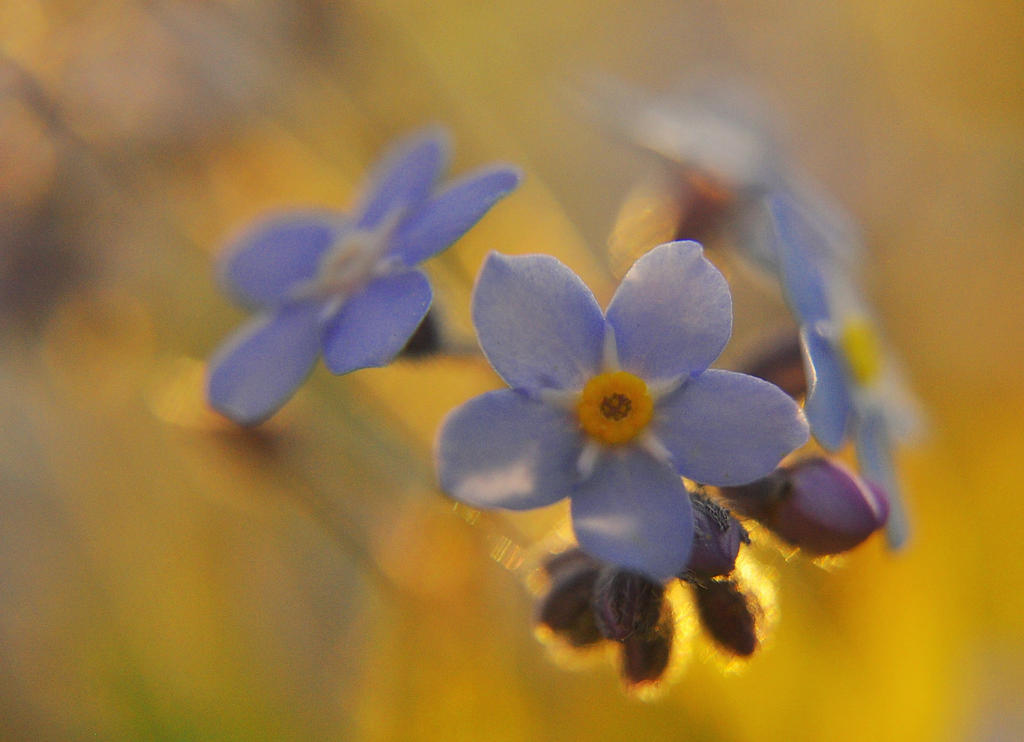 Forget-me-not. by Fiedka