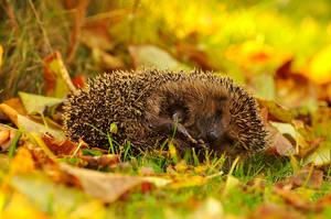Hedgehog. by Fiedka