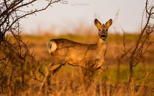 Roe buck. by Fiedka