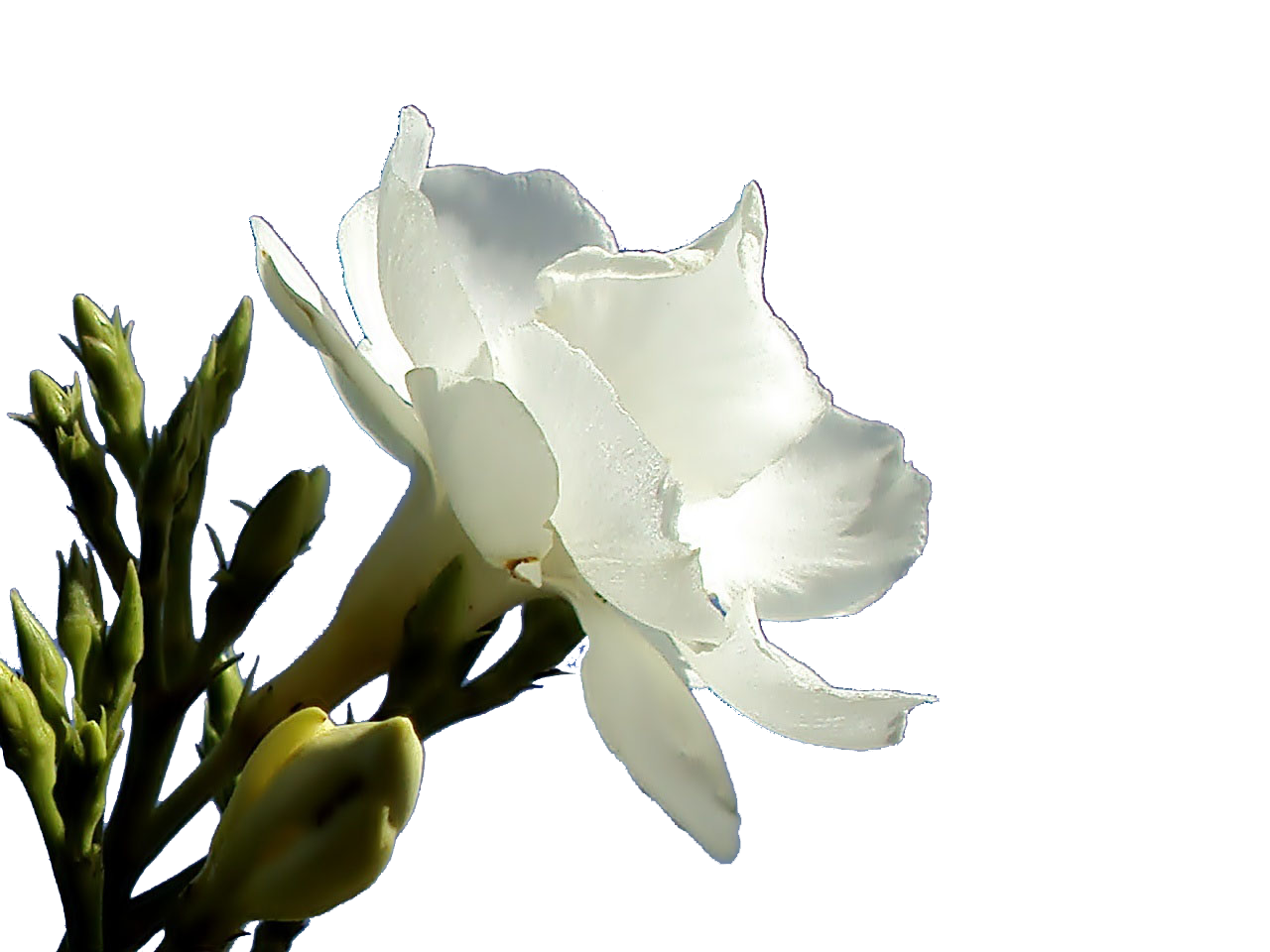 PNG Oleander