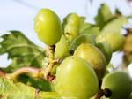 November Grapes*