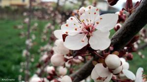 Prunus cerasifera red by KmyGraphic