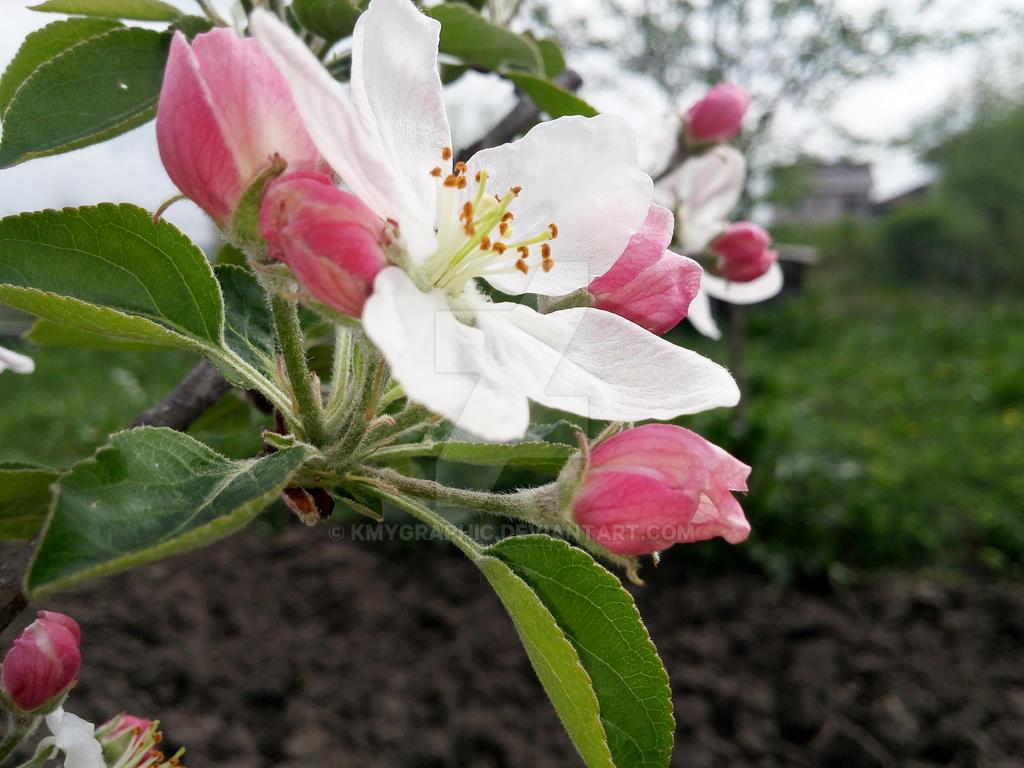 Apple tree by KmyGraphic