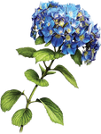 Blue Hydrangea by KmyGraphic