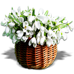 Snowdrops for you