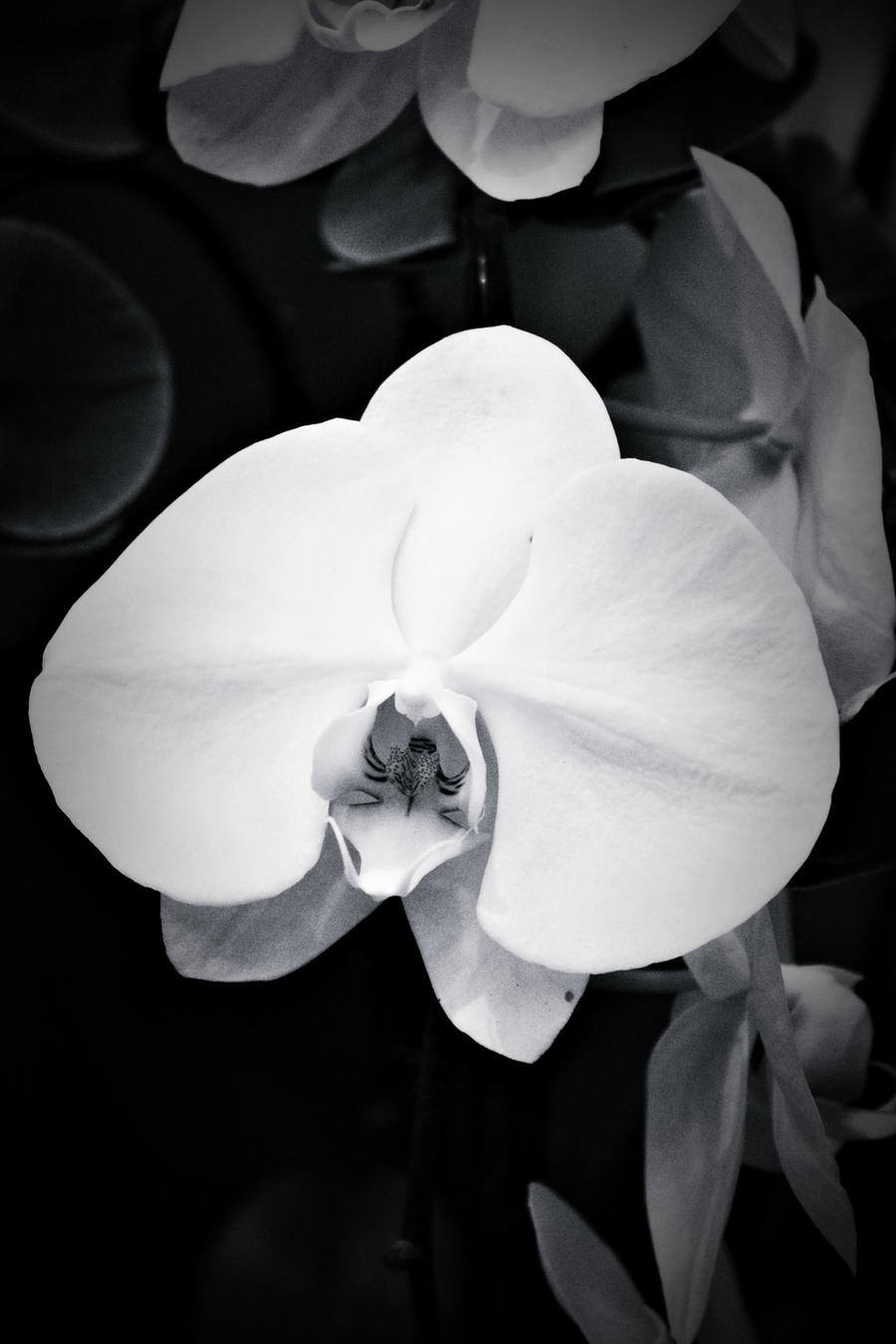 Orchid Wallpaper Black And White
