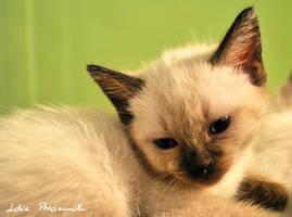 siamese kitten by lidia-art