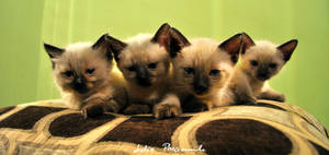 four siamese kittens by lidia-art