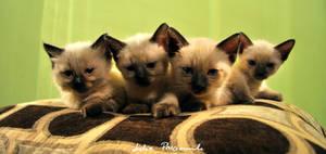 four siamese kittens