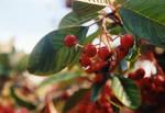 The Berries of Wrath