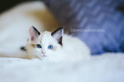 Our New Ragdoll Kitten
