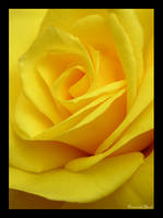 Yellow Rose by canuckgurl22