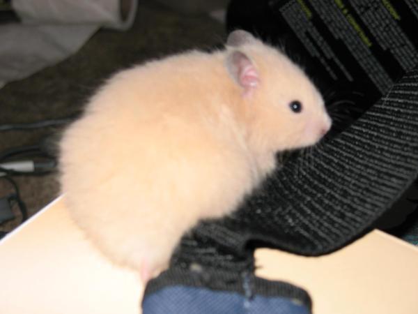 Teddy Bear Hamster by caressthedetails on DeviantArt