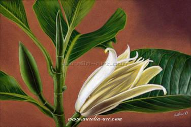 Magnolia by aurelia-acc