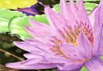 Purple Water Lily by aurelia-acc